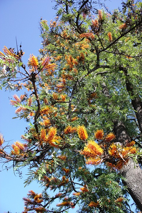 Flowering silk oak tree (Grevillea robusta)
