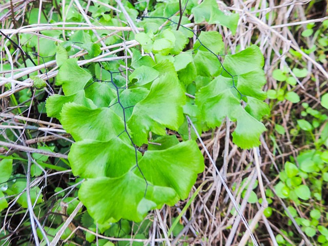 Rare maidenhair ferns grow on north-facing side.