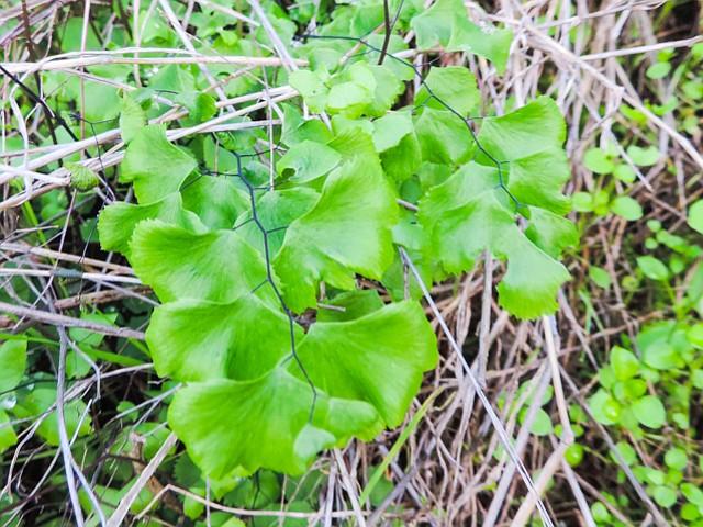 Rare maidenhair ferns grow on north-facing side.