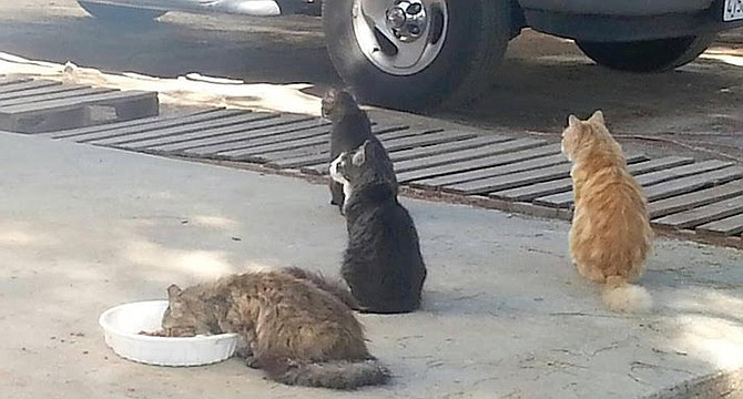 Last week she took the initiative, and trapped five feral cats, got them fixed, and then released them back on the same City Heights streets. - Image by Feral Cat Coalition
