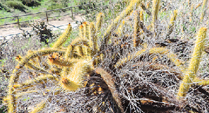 On the dirt path leading south into the canyon may be found the rarely-seen golden club cactus.