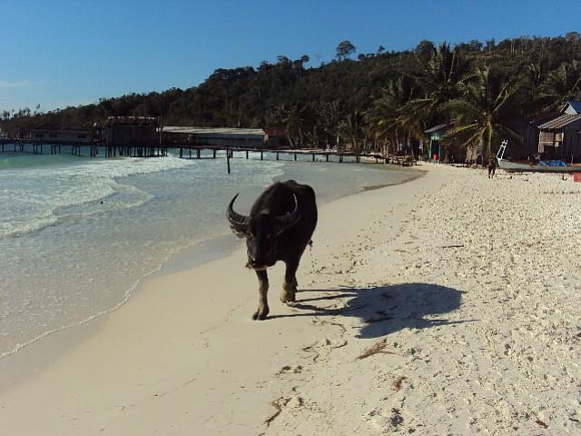 Island bull