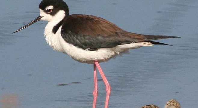 Black-necked stilt in Famosa Slough, one of 180 bird species seen there.