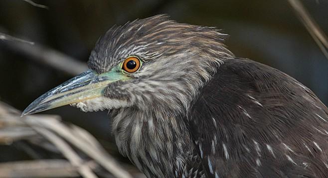 A juvenile night heron on the San Luis Rey River
