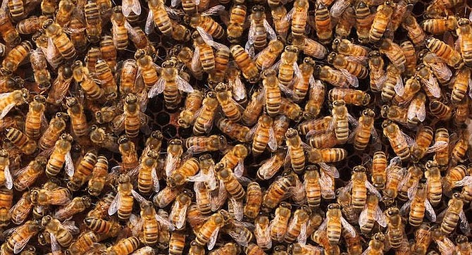 """""""There have been a half dozen posts over the past two days about a swarm of aggressive bees north of Adams [Avenue]."""" - Image by Girl Next Door Honey Facebook page"""