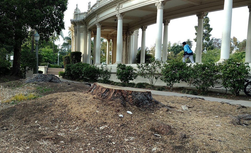 """Two giant pine trees behind the Organ Pavilion have been chopped down, and the whole planting area has been pretty much cleared out."""