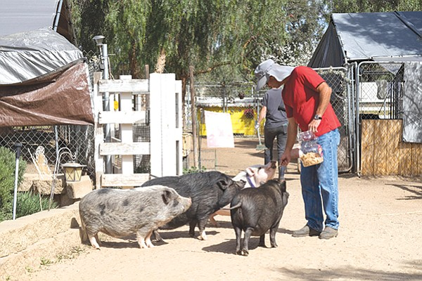 Ramona's Grazin' Pig Acres is home to over 90 rescued pot belly pigs.
