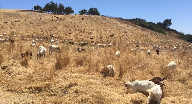 """The two hundred and fifty goats get to eat, and the hillside brush gets cleared."""