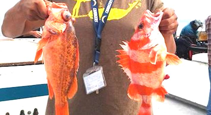 Rockfish counts doubled and calico bass counts went down for San diego sportfishing fish counts