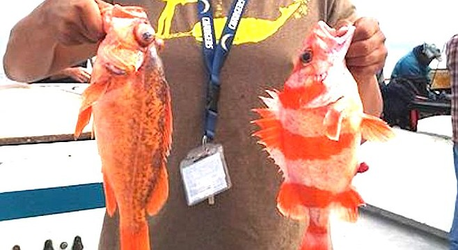 Slow-growing bass drove more local boats to the rockfish spots than to the kelp beds