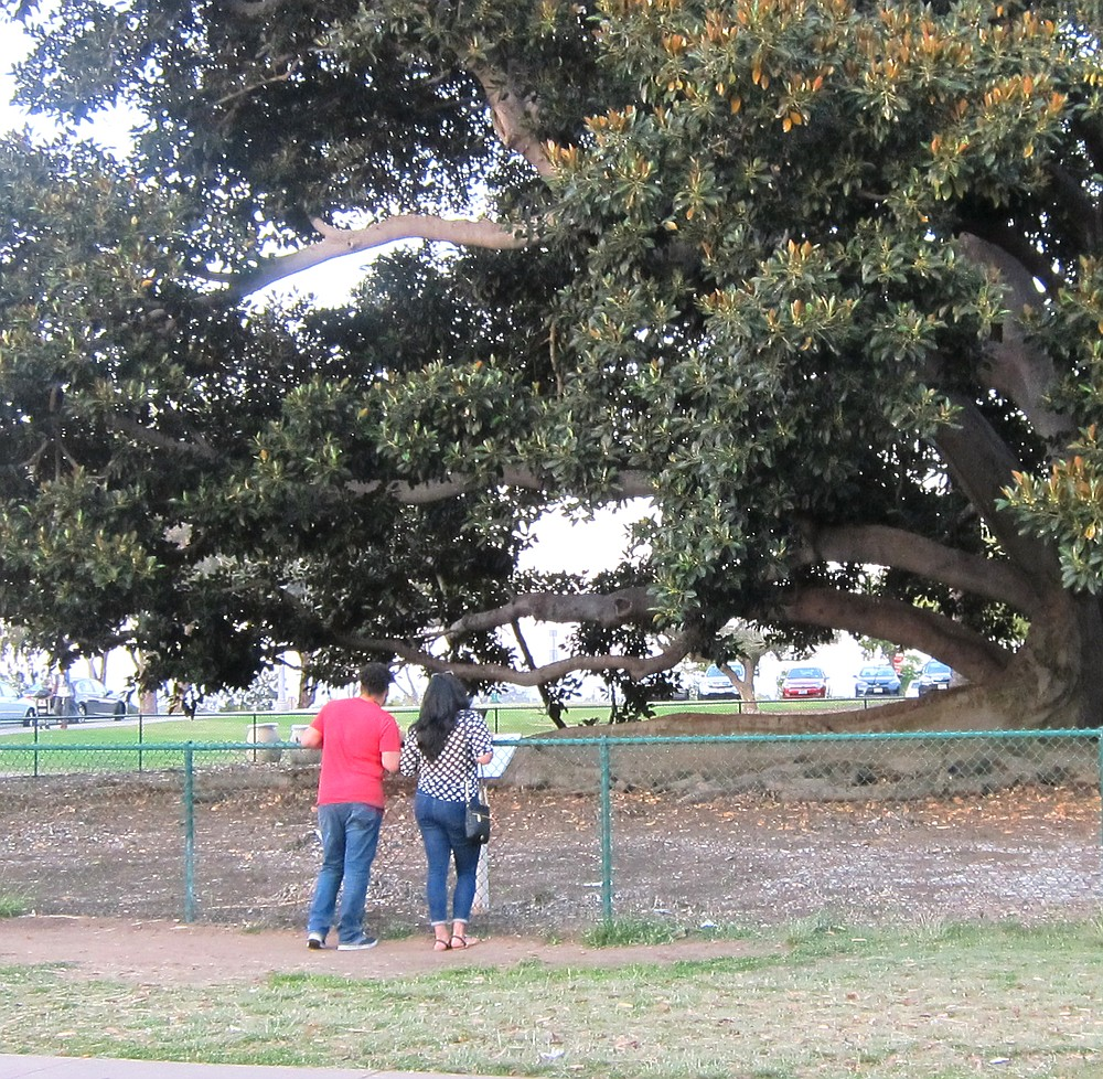 The fencing went up in 1989 to protect the tree from climbing children and heavy foot traffic on the tree's surface-feeding roots - both wreaking havoc on tree.