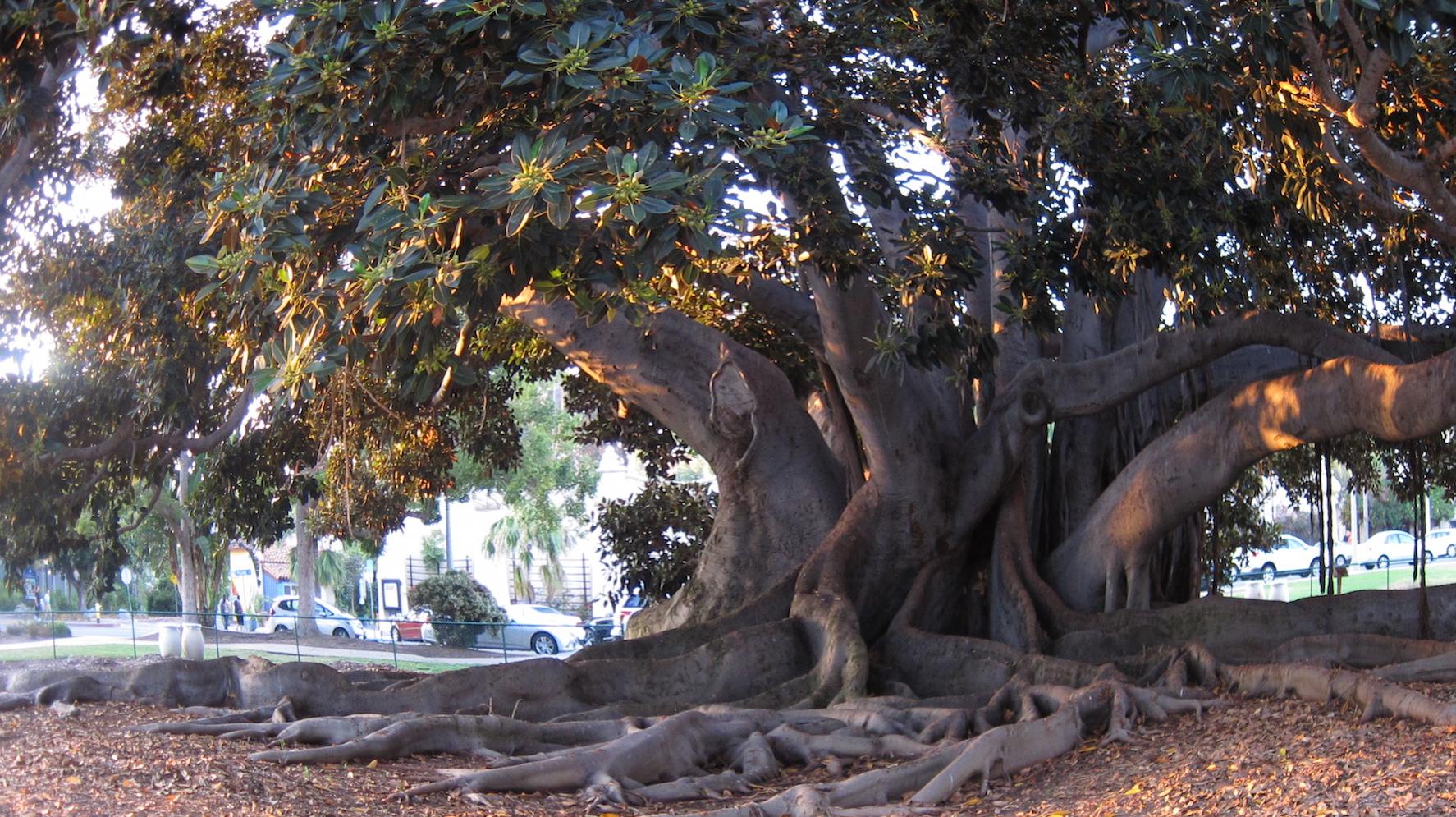 Balboa Park S Moreton Bay Fig How To Keep The Love San