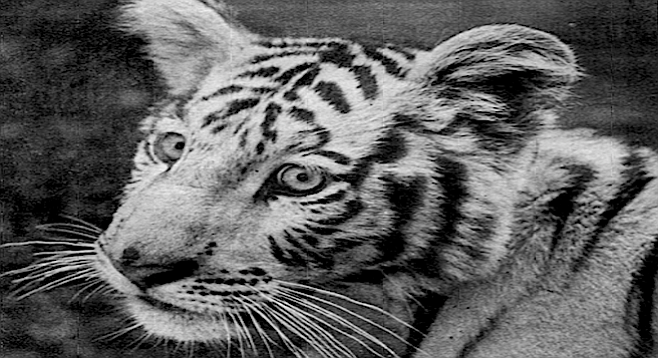 """""""...it didn't occur to Hank's sister or his aides that American laws might prohibit bringing a rare tiger across international boundaries."""""""