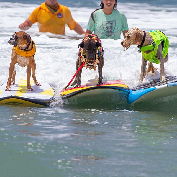 "Surf judges will be looking for dogs with the ability to ""grip it and rip it"""
