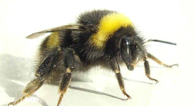 Bumblebees Wage War On Lake Murray San Diego Reader
