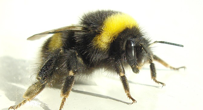 Bumble bees have no barb on their bites or stings and can attack multiple times.