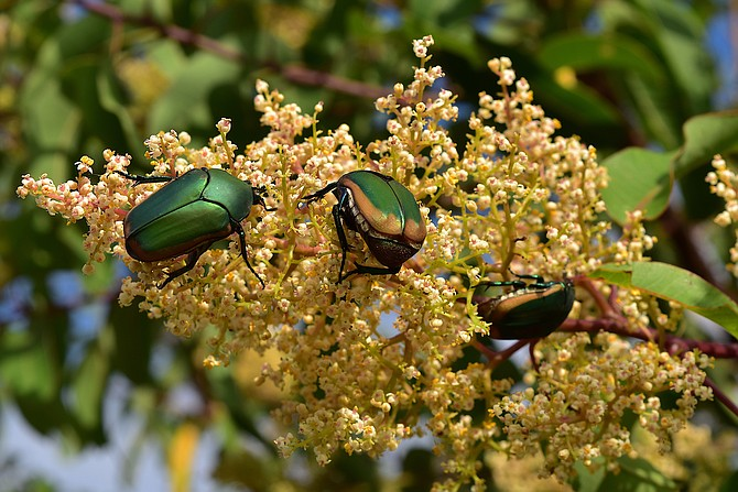 """Figeater beetles (what we mistakenly call """"June beetles"""" in San Diego) enjoying Laurel sumac flower, Otay River Delta Restoration Area, near Chula Vista, California, July 2017.  Beautiful insects."""