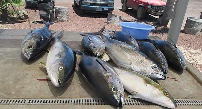 Yellowfin tuna are close to the normally cool water zone and are moving north. (Photo of catch at Old Mill, San Quintin)