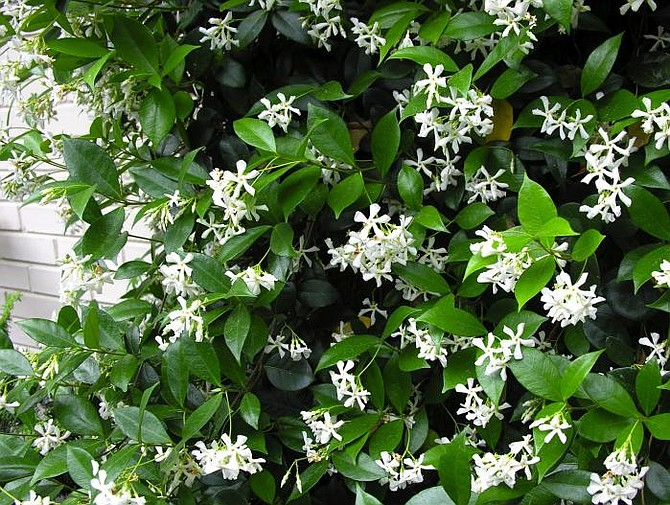 Star jasmine blooms in the late spring and early summer in San Diego.