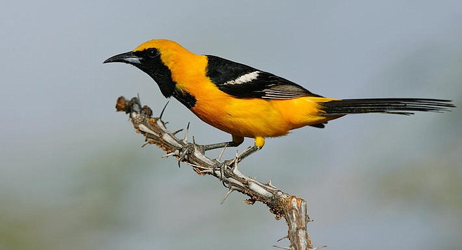 Hooded oriole. Used to nest in sycamore trees, now in planted palms.