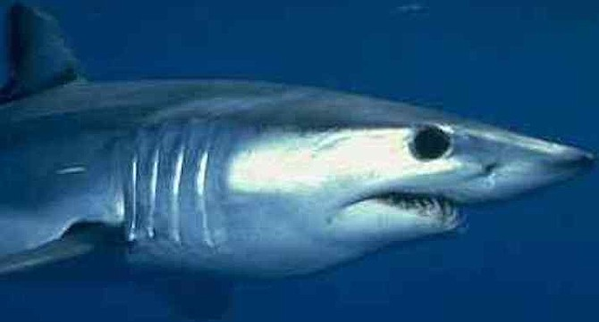 Mako shark meat has a bit less grain and lighter in tone, taste, and texture than thresher's.