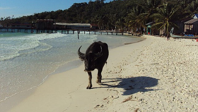 The occasional wandering bull greets the visitor to Koh Rong.