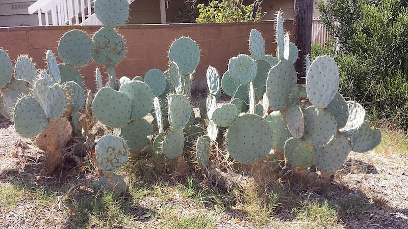 """Cacti planted originally to make an """"excellent fire break,"""" said Sandi. """"That was our main motive. But now I am glad it is there to provide some level of security for me."""""""