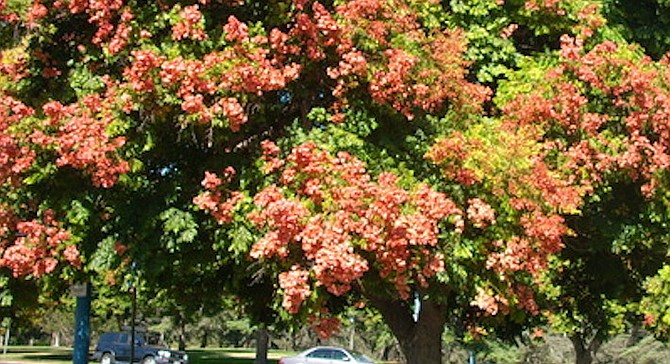 Chinese flame tree in Balboa Park