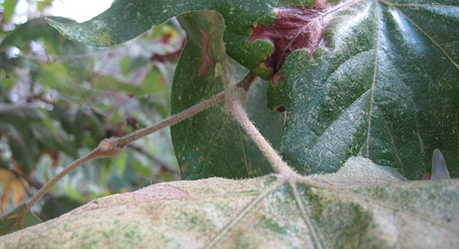 Sycamore trees with their large palmate leaves surrounding the new bud.