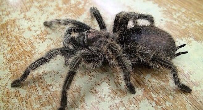 Tarantula venom is less powerful than a bee's.