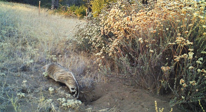 Among 5000 images taken by the motion-activated camera, they got about 30 badger shots.