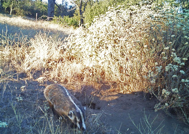 Irrefutable photo evidence of the American badger
