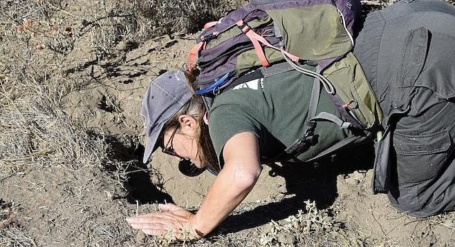 Biologist Cheryl Brehme inspects a badger den