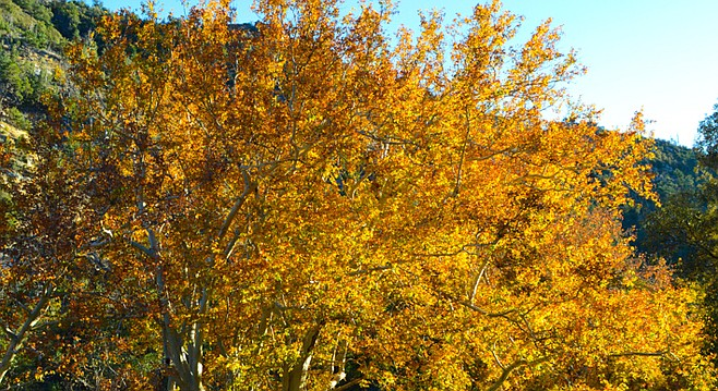 Sycamores are already fading to yellow and brown.