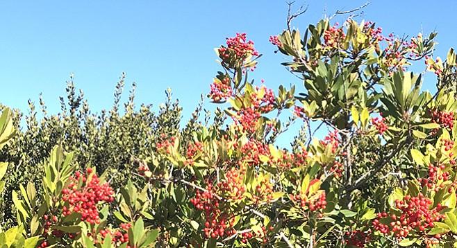 The toyon bush in winter color