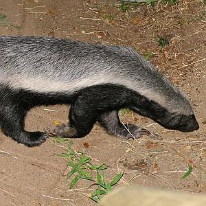 A bad-ass honey badger