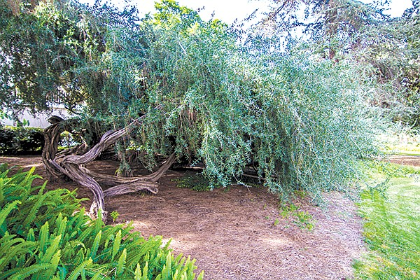 """When I ask a passerby to give the Australian tea tree a name based on either Harry Potter or Lord of the Rings, he chooses """"Gandalf."""""""