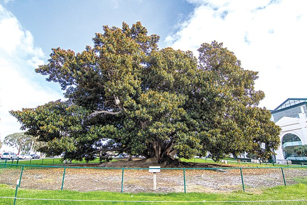 That chain-link fence saved Leo the Moreton Bay fig tree's life.  Incredulous? Go check out the dead Moreton Bay fig in Golden Hill Park.