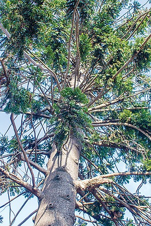 """Watch out for the bunya bunya tree's falling cones. """"They can grow twice the size of a man's head and weigh up to ten pounds."""""""