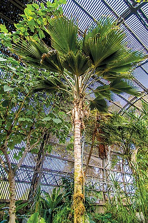 This Loulu lelo palm in the Botanical Building is one of a species almost extinct in the wild except for a three-acre patch on a small island in Hawaii.