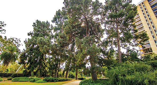 The tallest of the Canary Island pines outside of the Marston House Museum approach 120 feet.