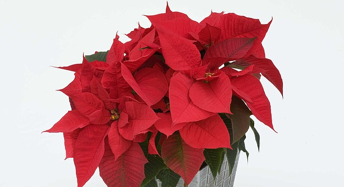 Premier Red pointsettia. 14-hour-long nights triggers their behavior.