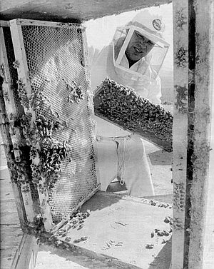 Mikolich. Almond pollination in California is the biggest beekeeping event in the world.