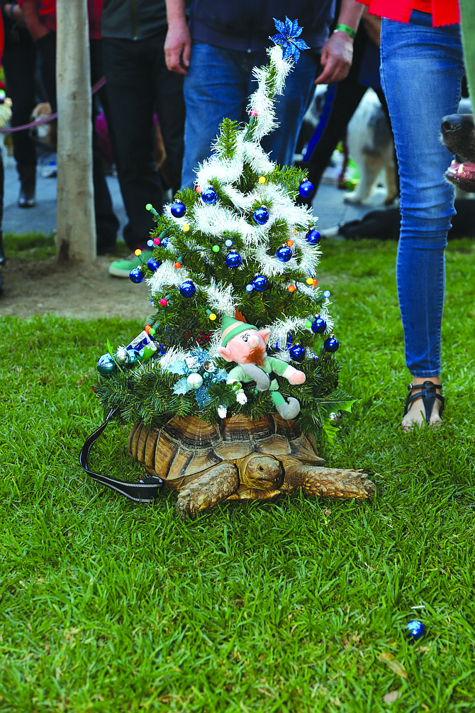 We're not sure this turtle is stoked to be dressed as a Christmas tree for the Gaslamp Holiday Pet Parade.