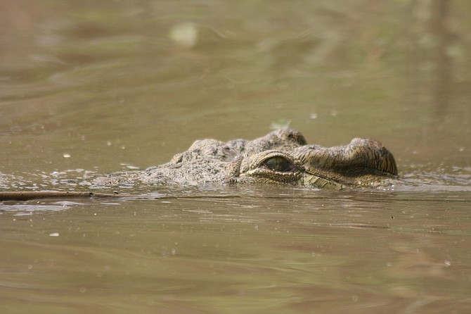 A croc closely following our boat