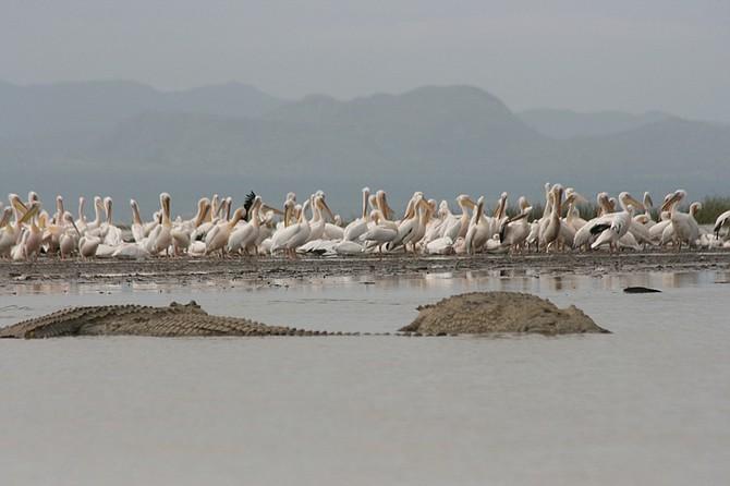 pelicans and crocs