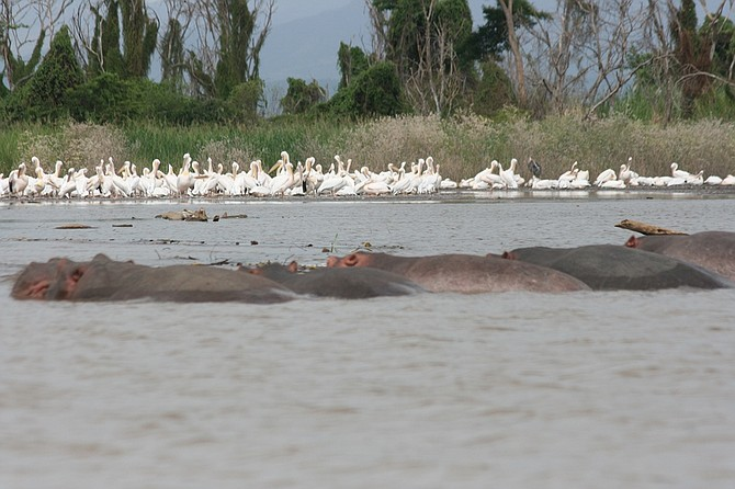 pelicans and hippos