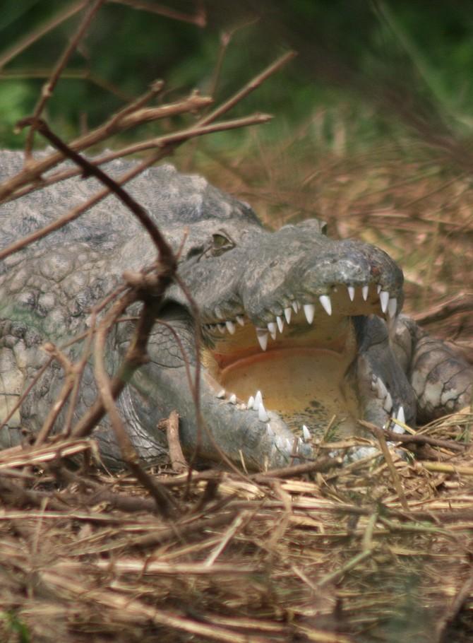 sleeping croc