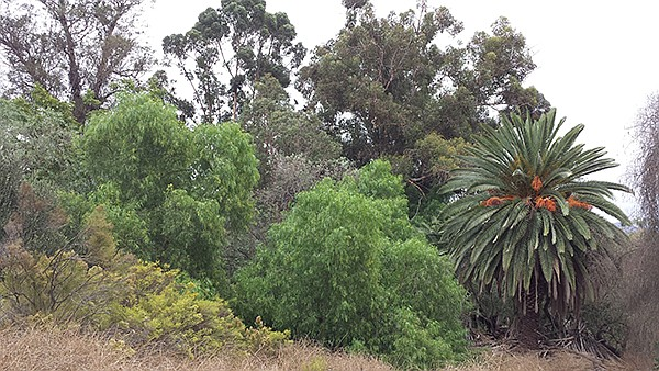 Peppers, palms, and eucalyptus
