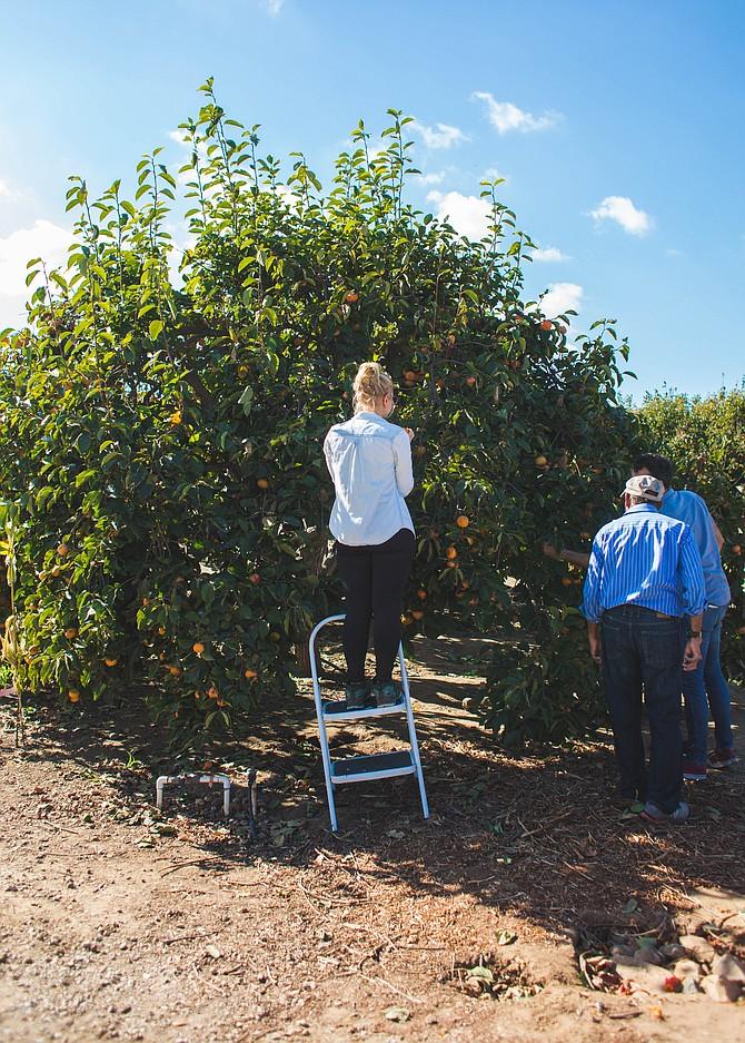 Persimmon Picking in Ramona